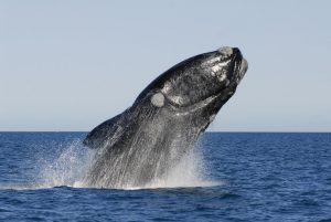 whale oil right whale